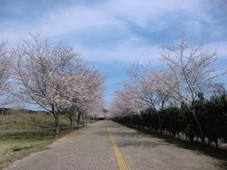 カシマスタジアム 桜